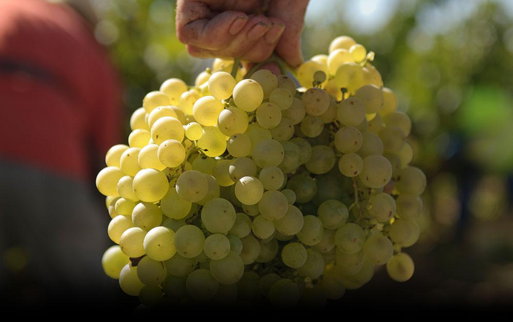 banner-grapes